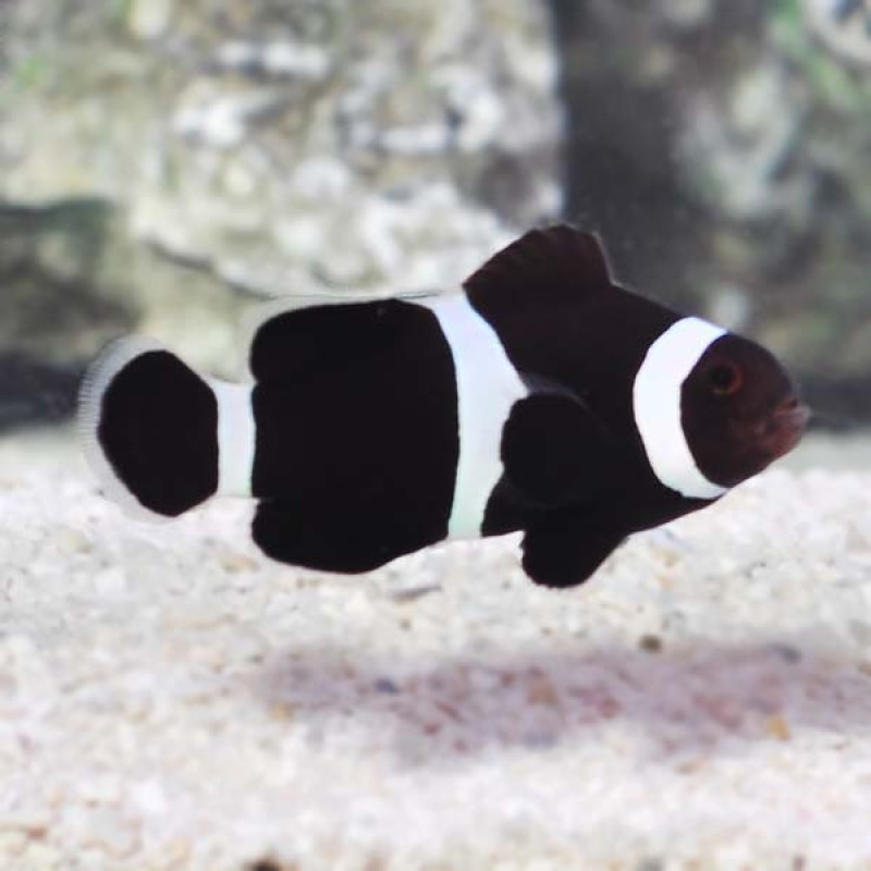 Black and White Clownfish (Ocellaris)