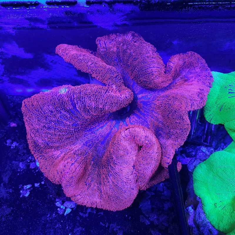 Ultra Red Carpet Anemone