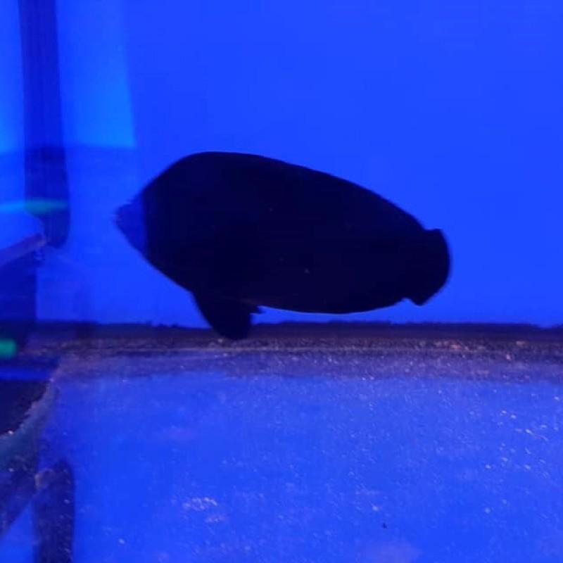 Midnight / Black Nox Angelfish