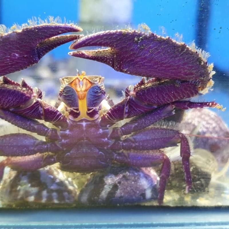 Purple Porcelain Crab