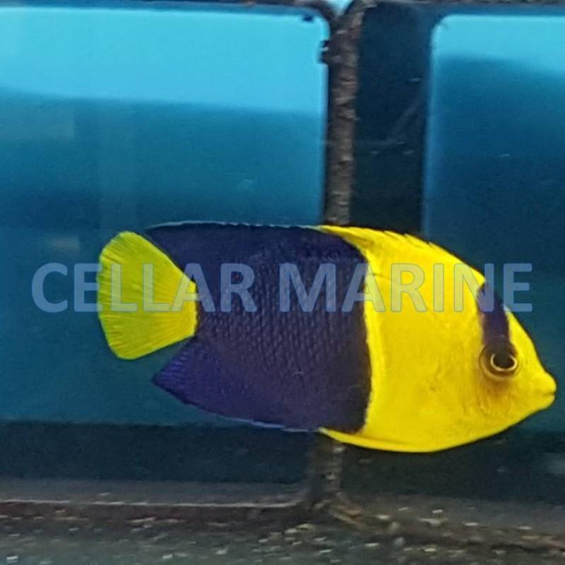 Bi Colour Angelfish