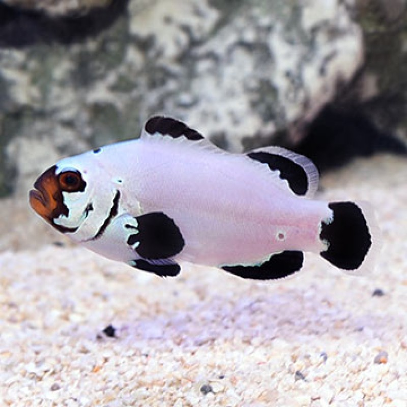 Frostbite Captive Bred Clownfish Pair