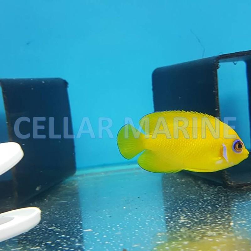 Lemon Peel Angelfish