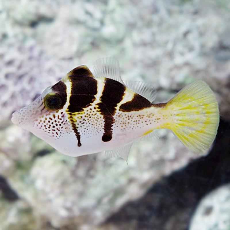 Mimic Saddle Puffer Filefish