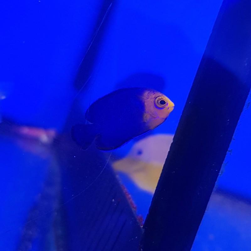 Pygmy Cherub Angelfish