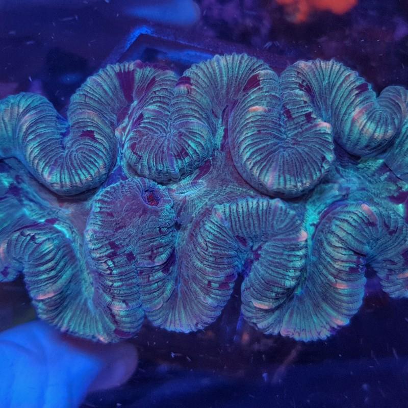 Green Trachy 2 (Trachyphyllia) WYSIWYG