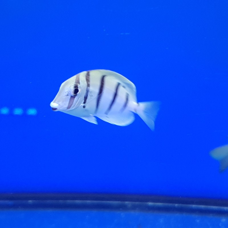 Convict Tang Small