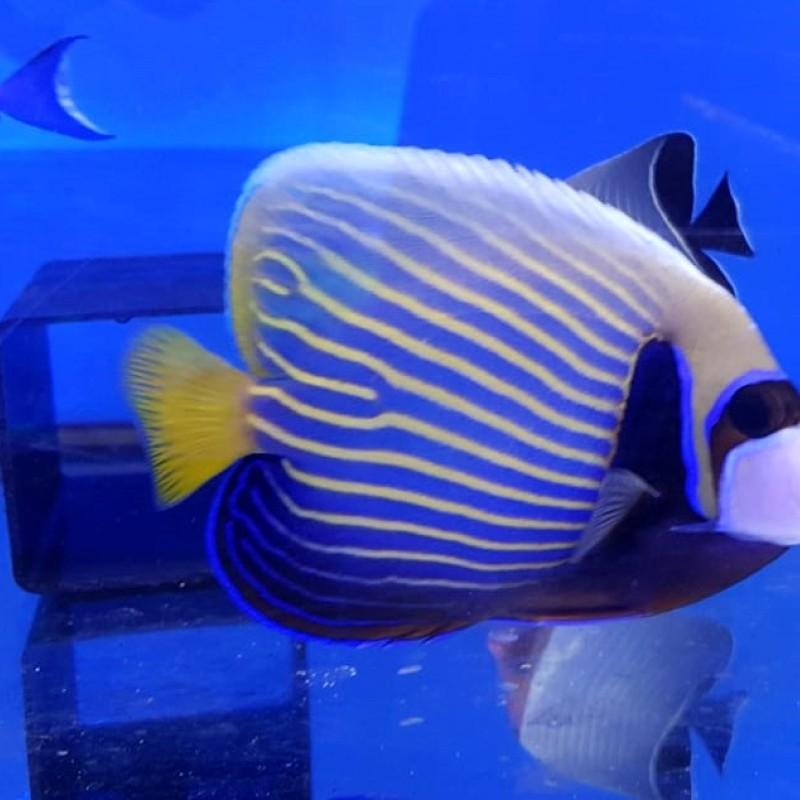 Emperor Angelfish Adult XL