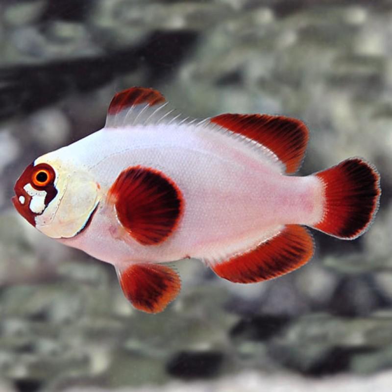 Gold Nugget Maroon Captive-Bred Clownfish Pair