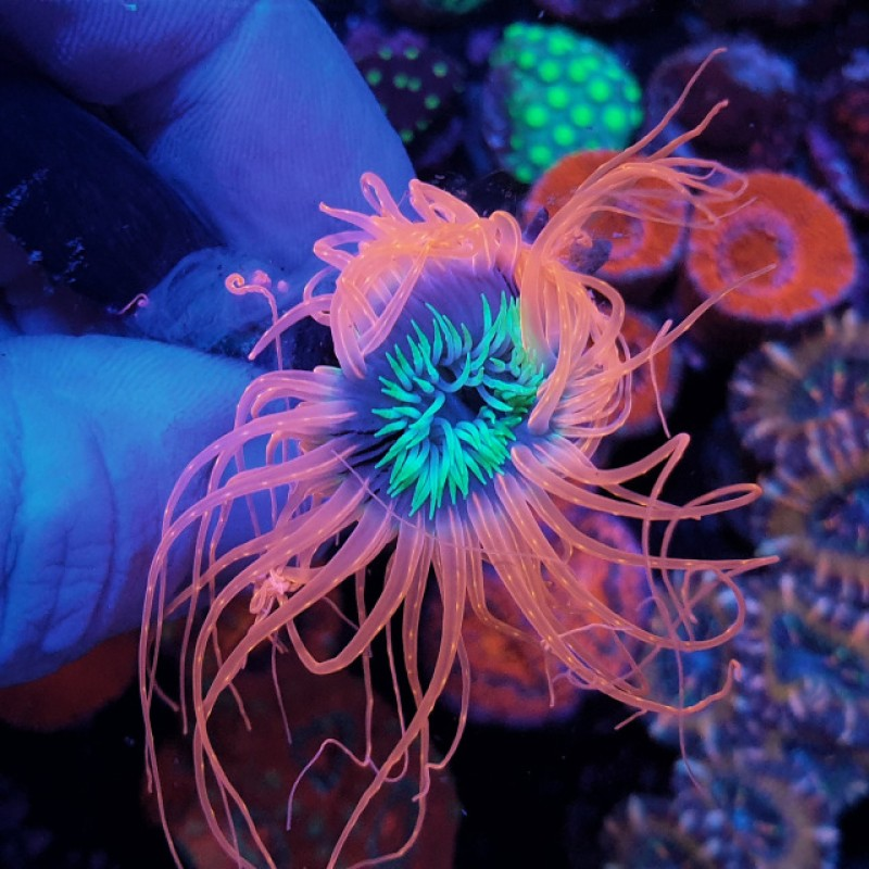 Tube Anemone Pink and Green Centre