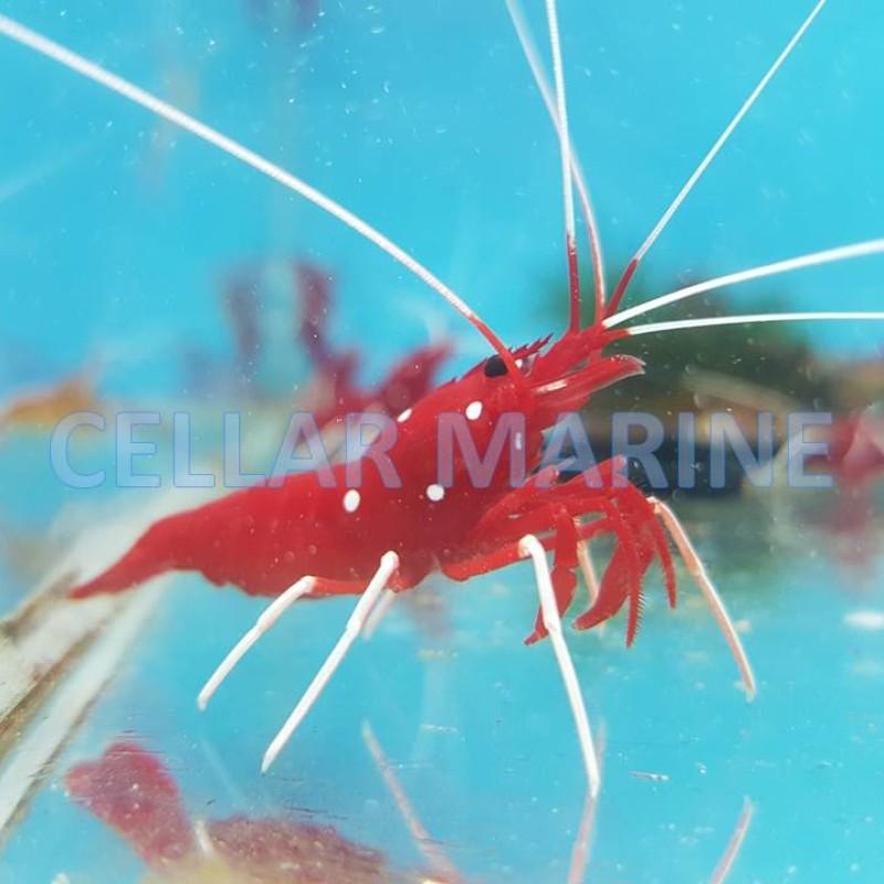 Blood Red Fire Shrimp x2