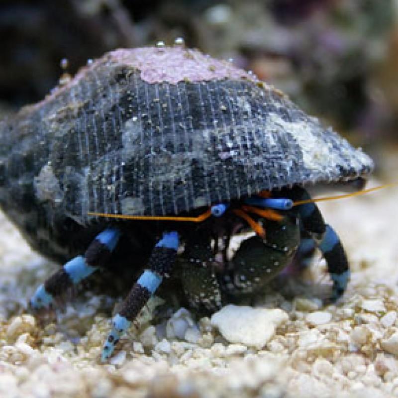 Electric Blue Leg Hermits (Soccer Crabs)