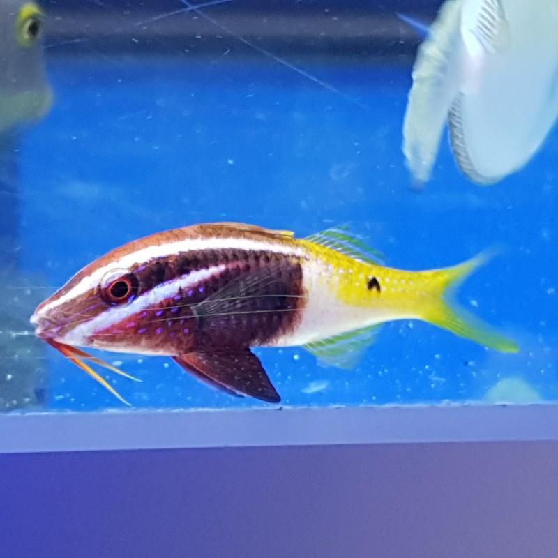 Bi Colour Goatfish