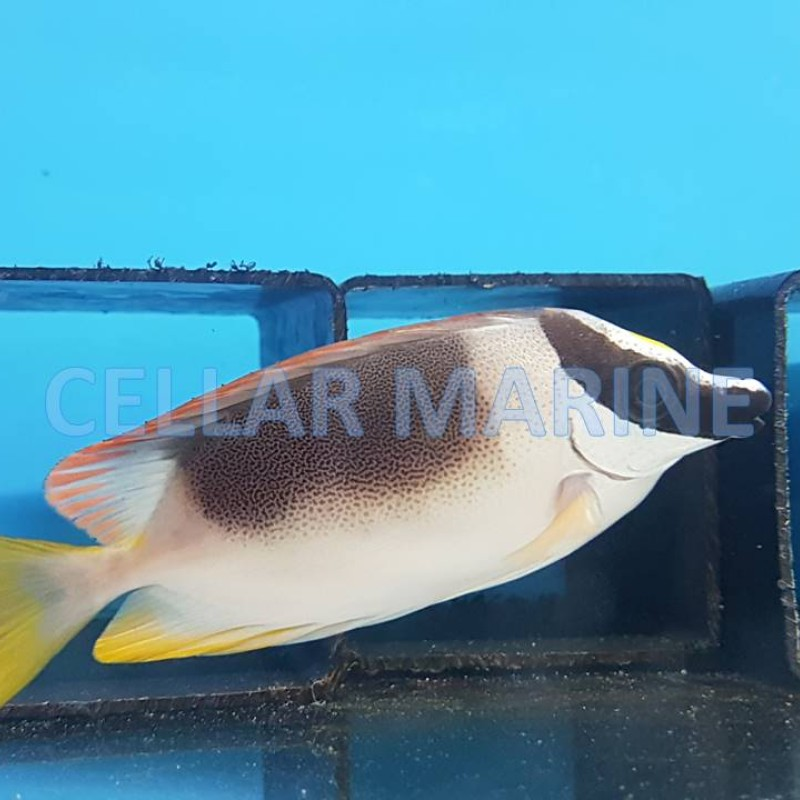 CELLAR MARINE AQUATICS LTD