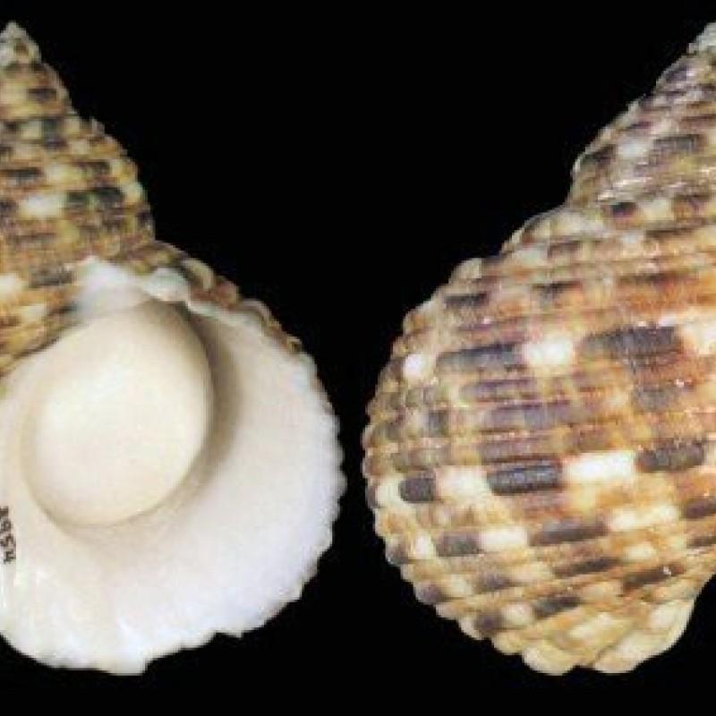 Pointy Turbo Snail (Setotus)