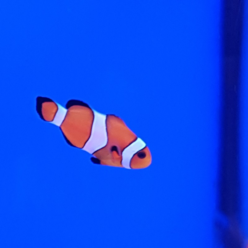 Common Clownfish Orange and White (Ocellaris)