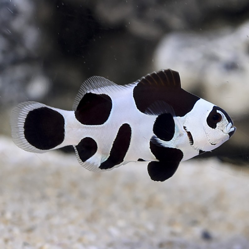 Black Storm Clownfish *PRE-ORDER 2-3 Days*