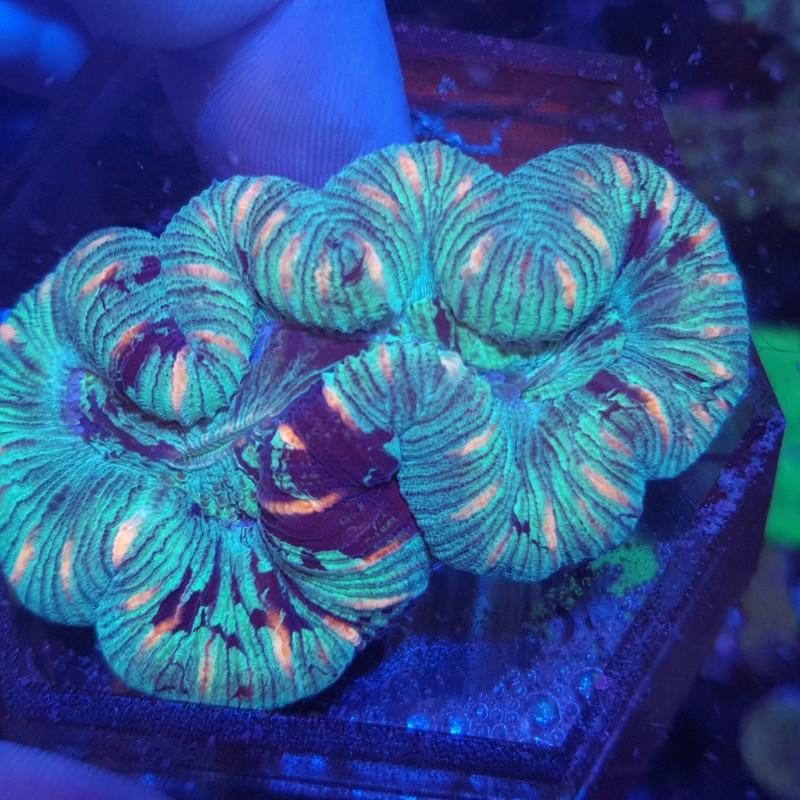 Striped Green Trachy 2 (Trachyphyllia) WYSIWYG