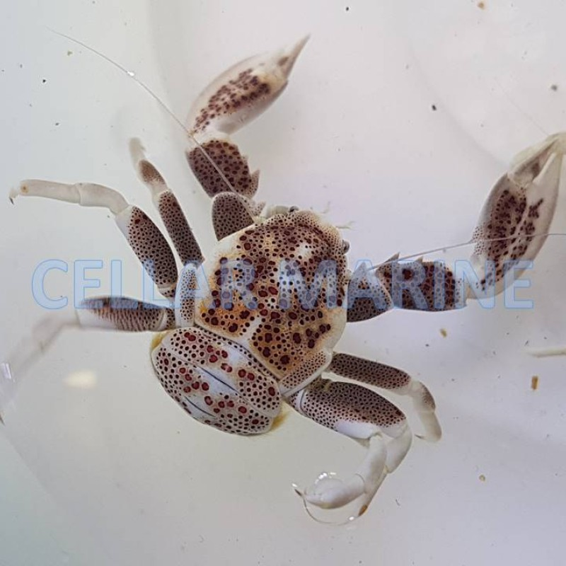 Porcelain Crab Mottled (Anemone Crab)