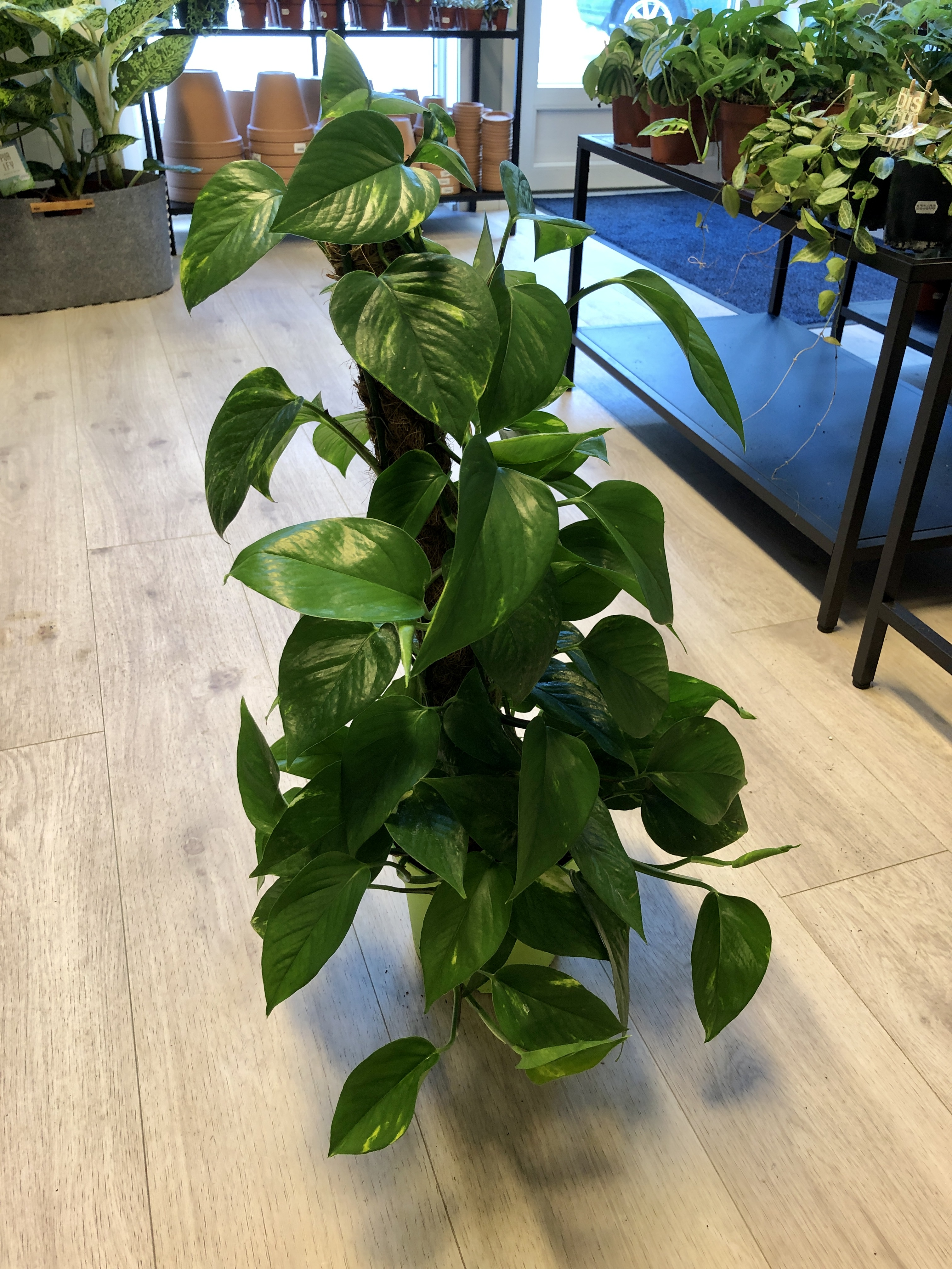Epipremnum Pinnatum `Aureum` på mosestokk