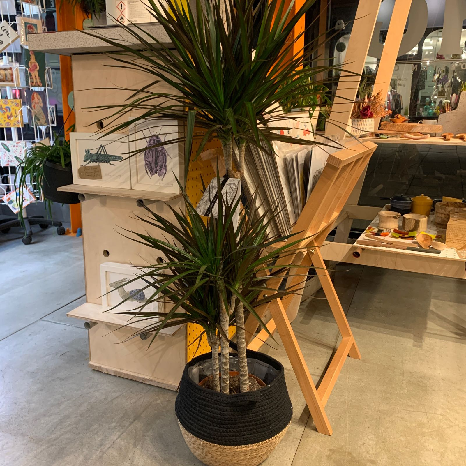 The Little Botanical - Large Dragon Palm