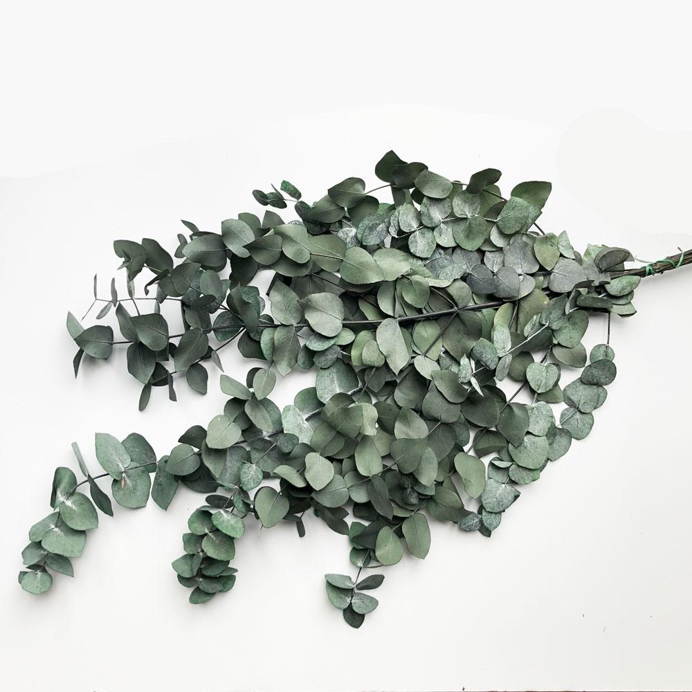 Eucalyptus - Preserved