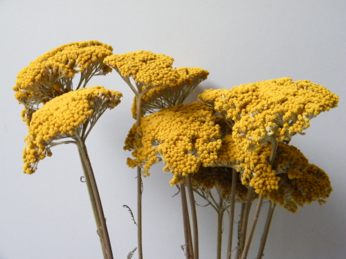 Dried Achillea Yellow (local delivery/collection only)