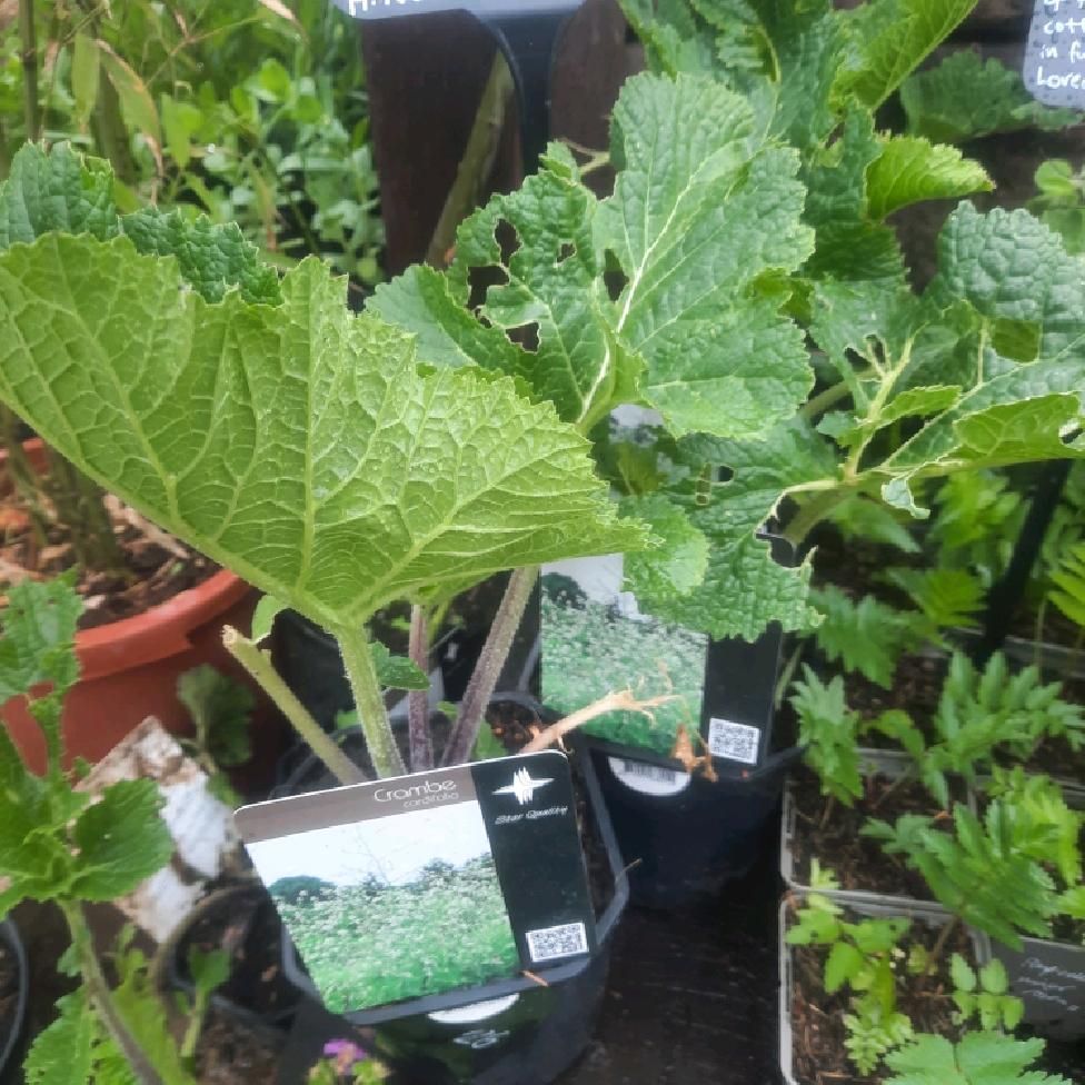 Crambe cordifolia (Flowering Sea Kale)