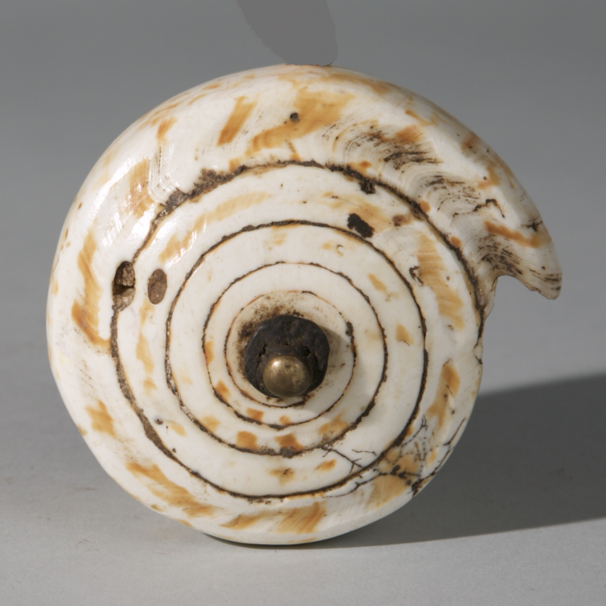 A BIG CURRENCY SHELL, MWILA TRIBE OF NAMIBIA, SW AFRICA ( No 3962)