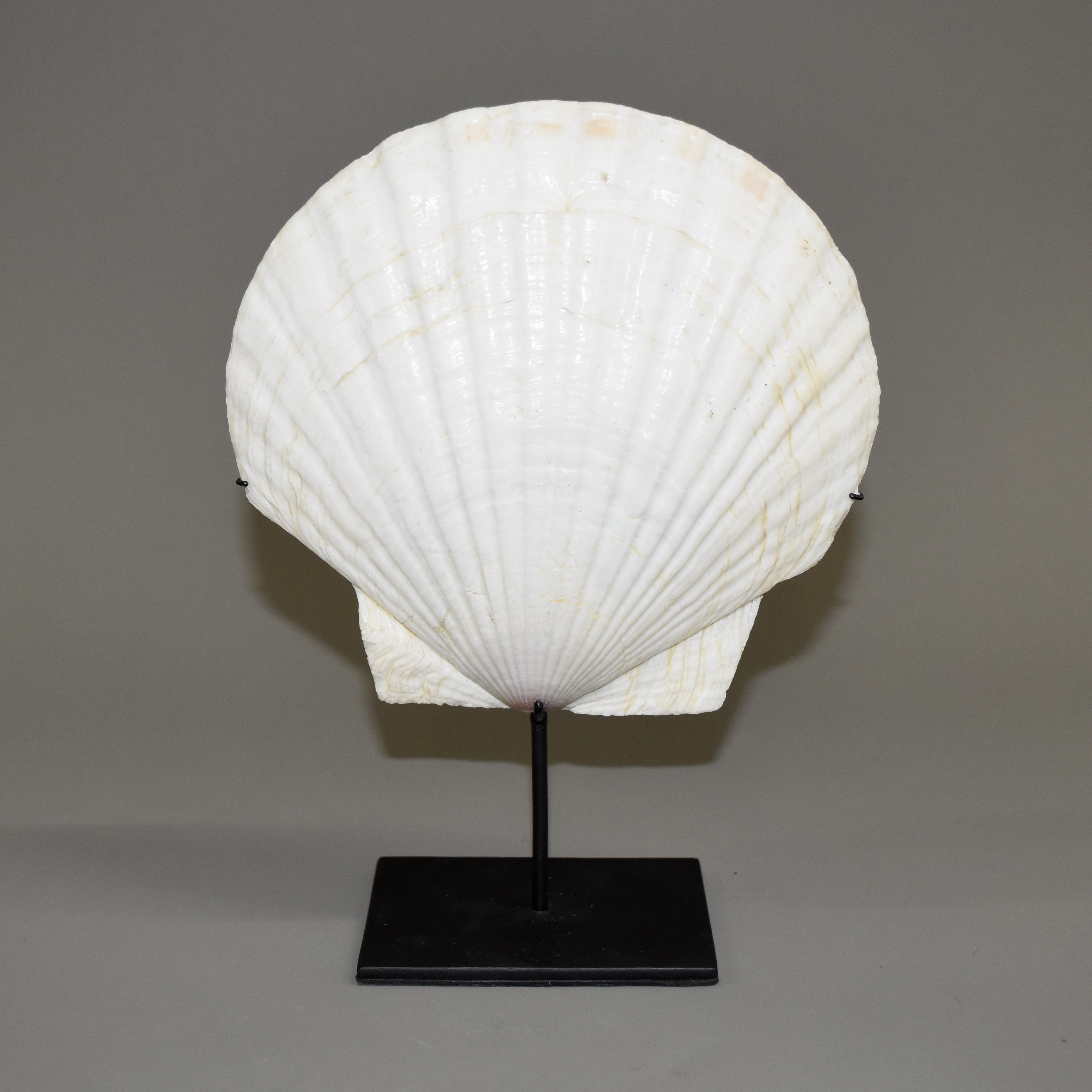 XL SCALLOP PECTEN SHELL FROM PNG ( No 765 )