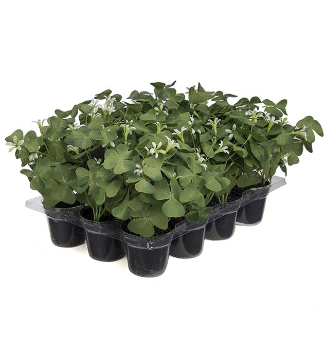 Liten grønn plante m.hvit blomst