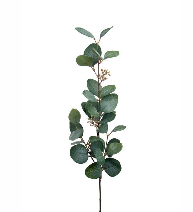 Eucalyptus m. bær 70 cm