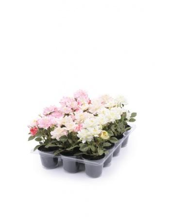 Silkeblomst lille rose i potte