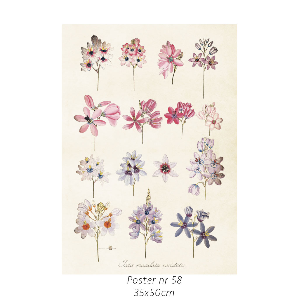 Plakat Hortensia 35X50cm