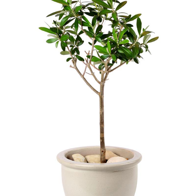 Lil plot oliivipuu