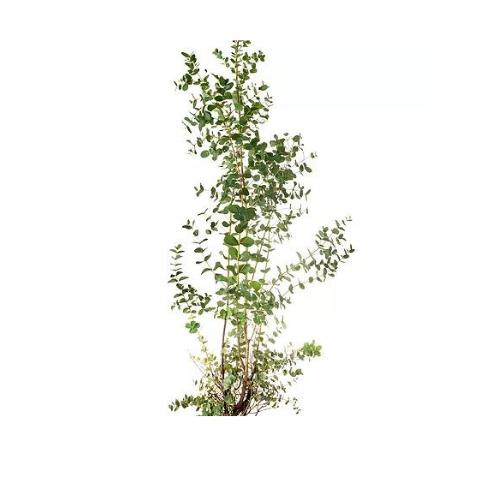 Lil plot eukalyptuspuu