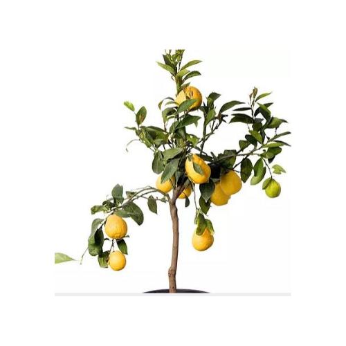 Lil plot sitruunapuu
