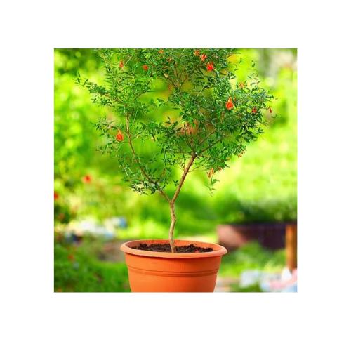 Lil plot granaattiomenapuu