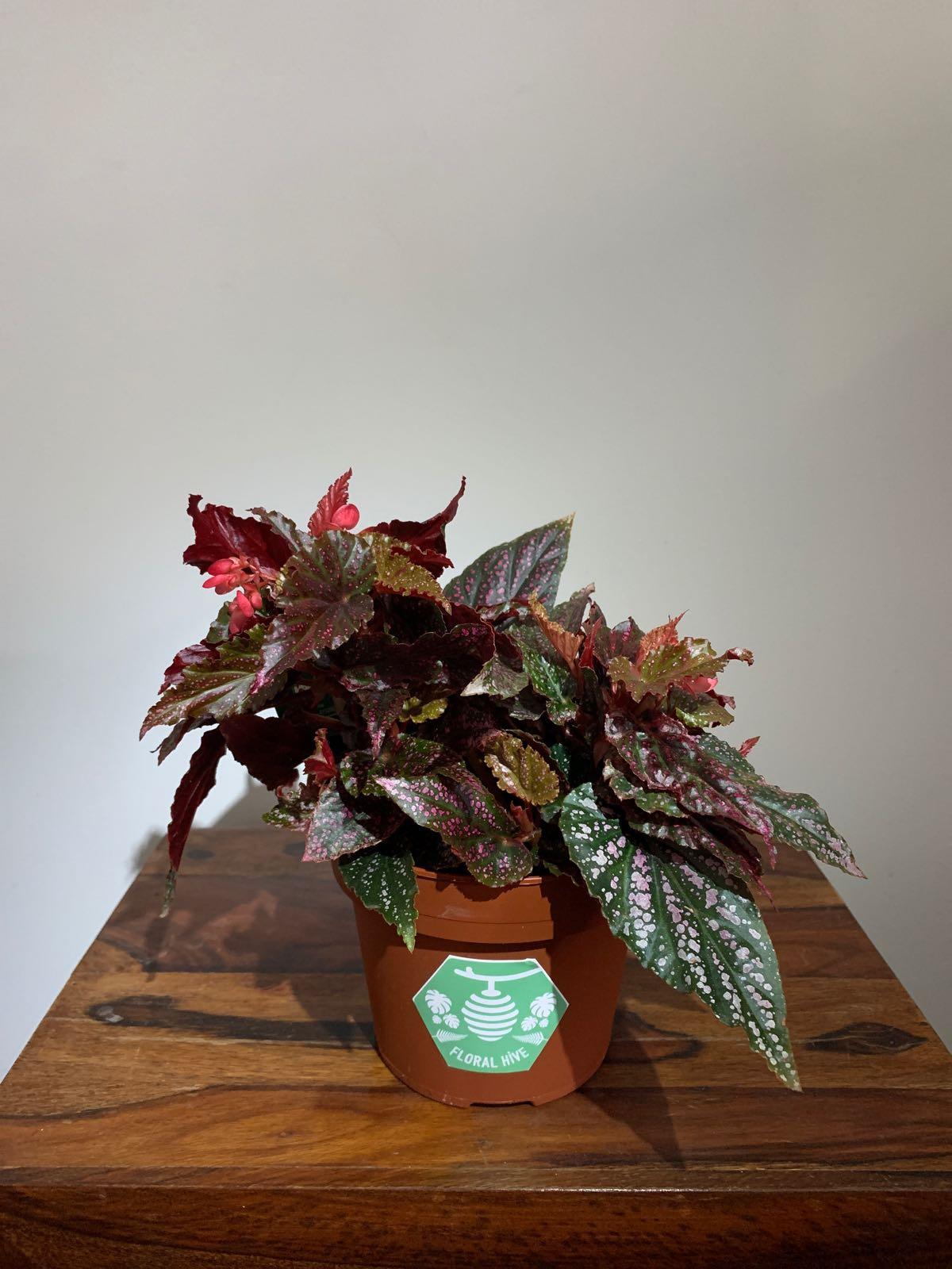 Pink Polka Dot Begonia - Begonia benigo