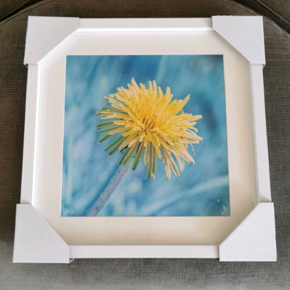 Infrared Dandelion, 1/25, white, 12