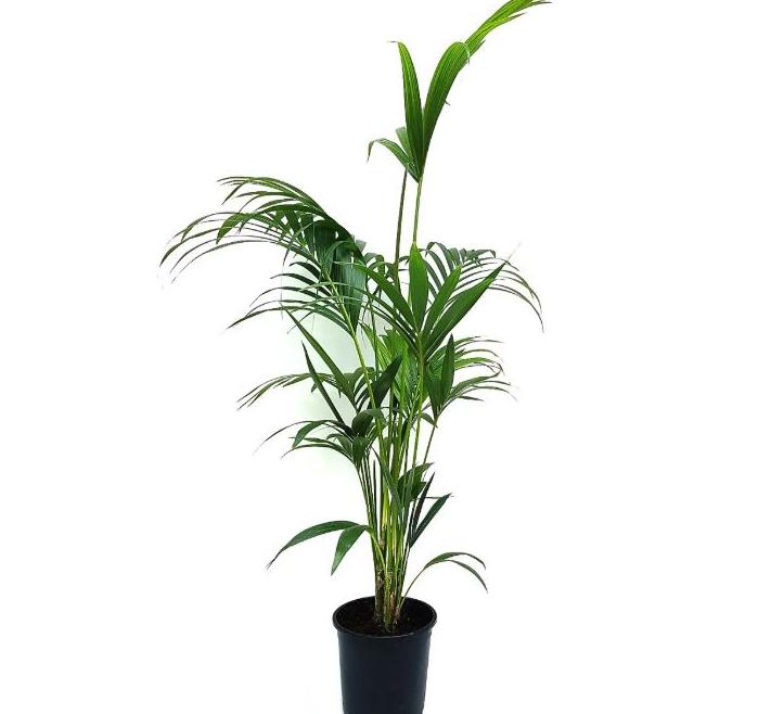 London House Plants Kentia Palm
