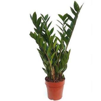London House Plants Zanzibar Gem