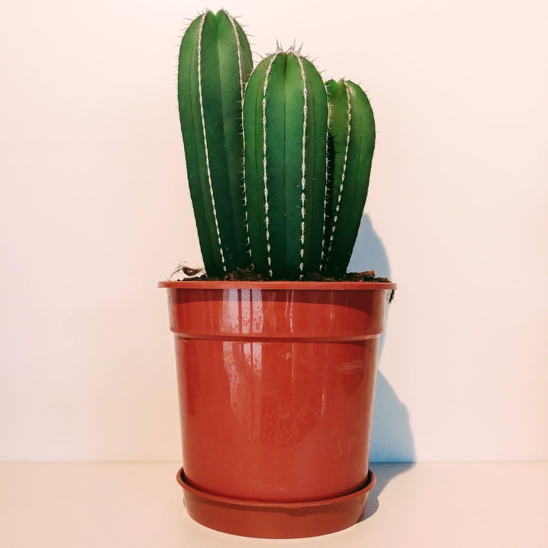 London House Plants Large Cactus