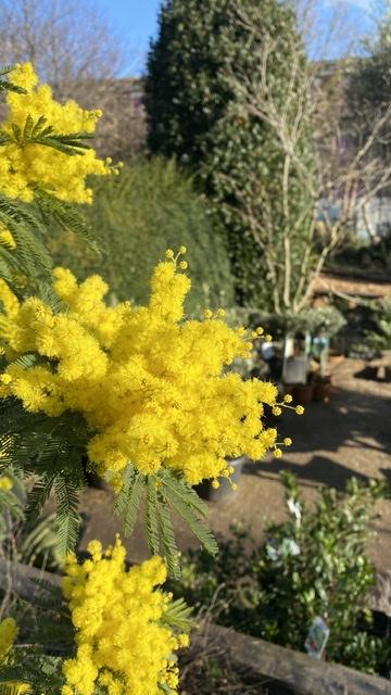 Acacia dealbata (Mimosa or Blue Wattle)