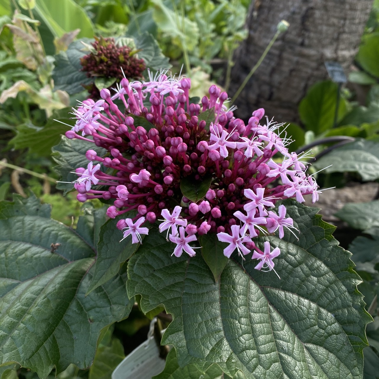 Clerodendrum bungei (Glory Flower)