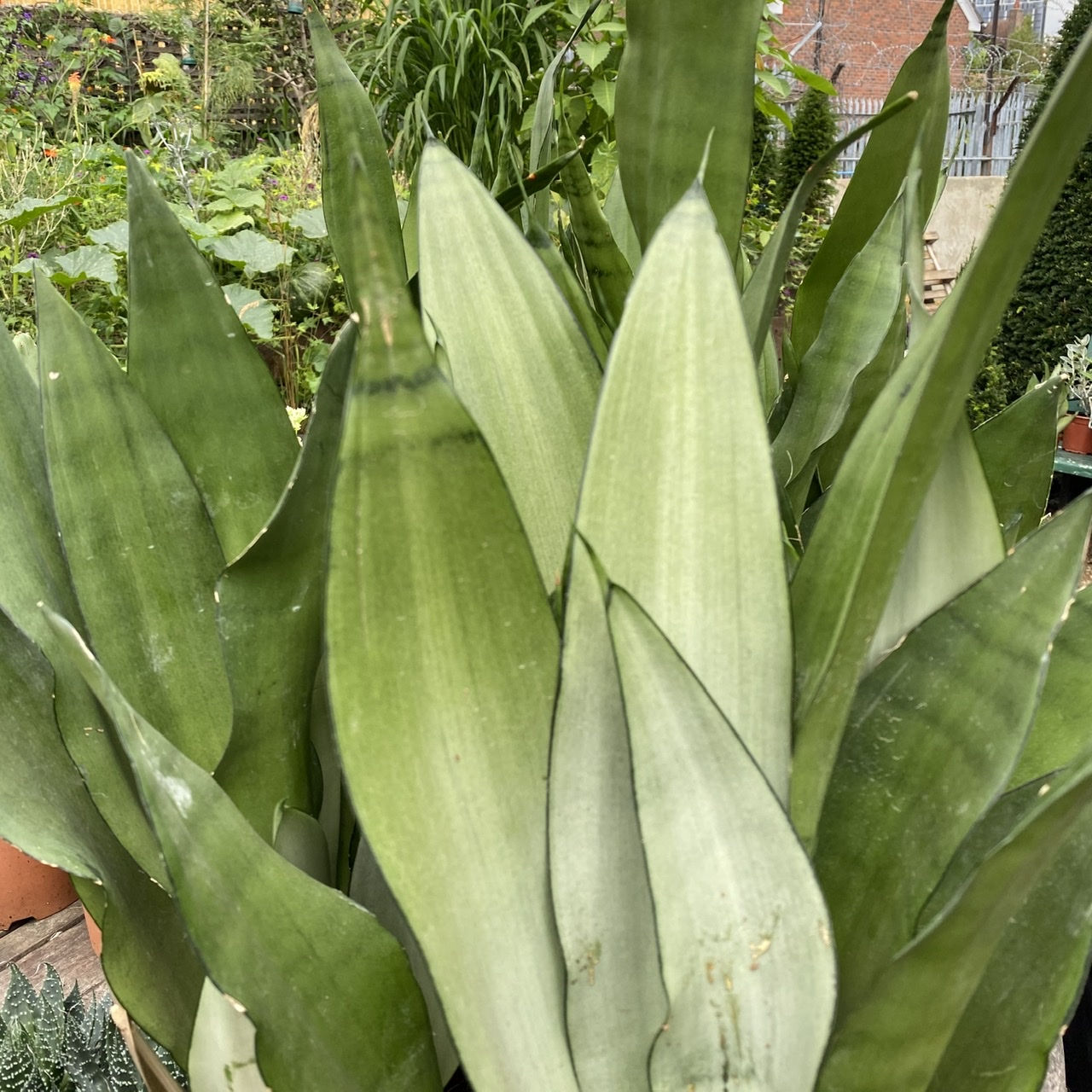 Sansevieria 'Moonshine' (Silver Snake Plant)