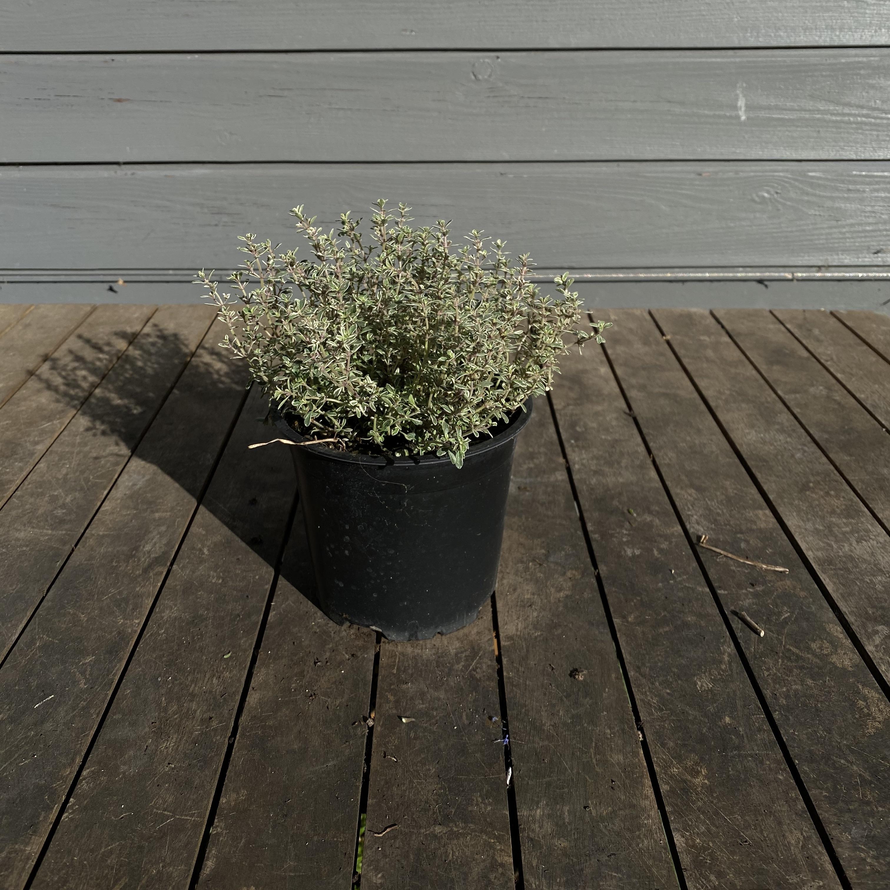 Thyme 'Silver Queen' - Thymus x citriodorus 'Silver Queen'