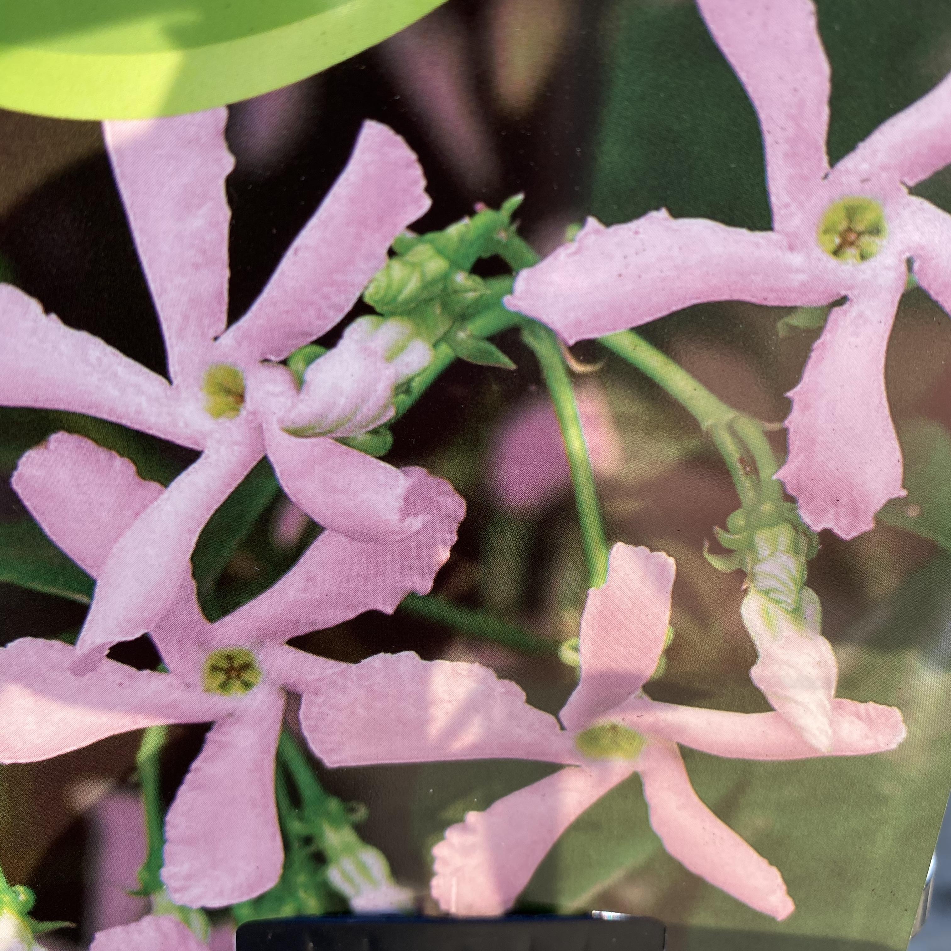 Trachelospermum asiaticum 'Pink Air' (Pink Star Jasmine)