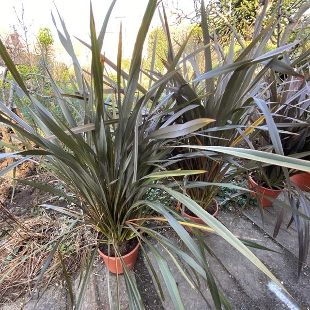 Phormium tenax 'Purpureum' (Purple New Zealand Flax)