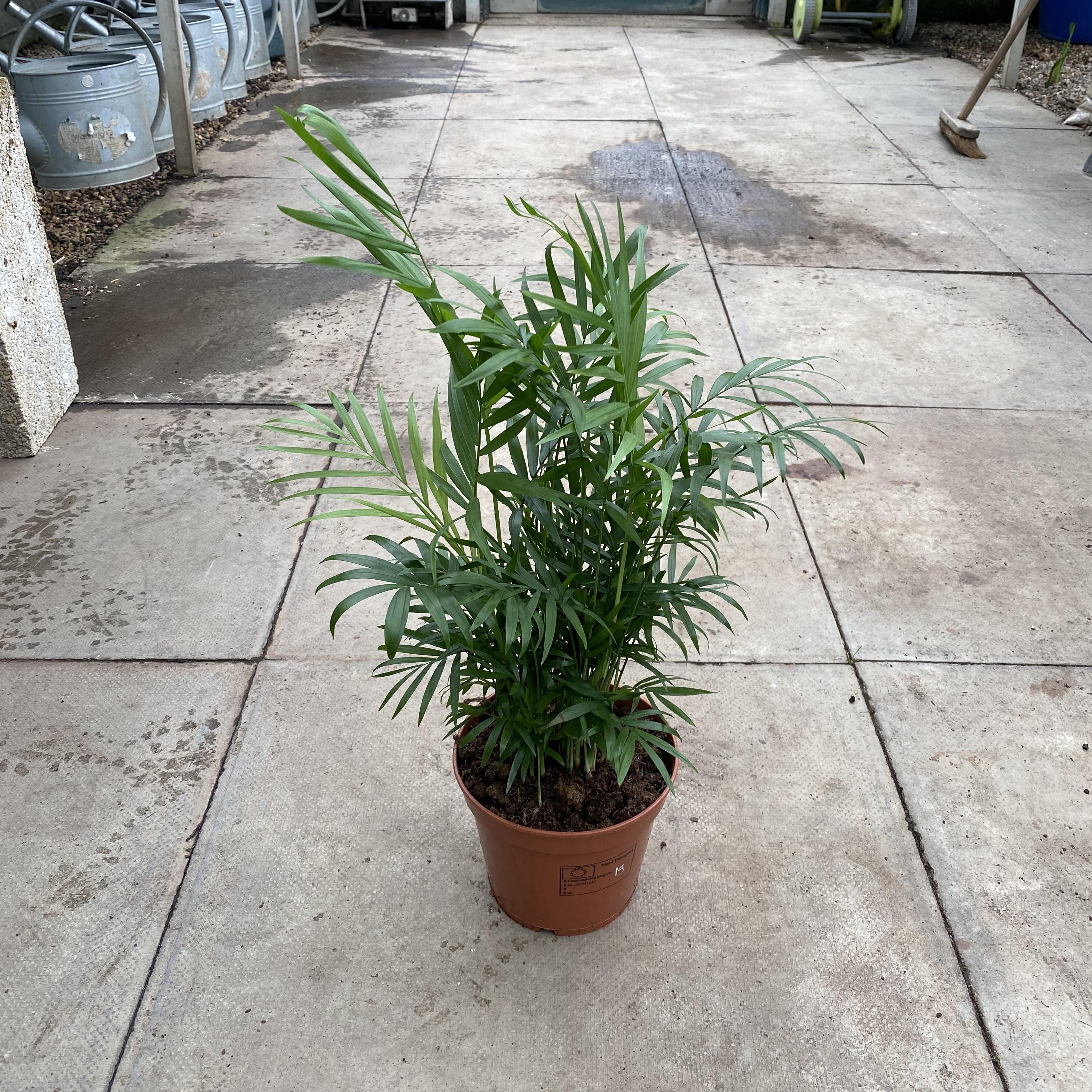 Chamaedorea elegans (Parlour Palm) 4 Sizes